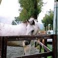 エルランチョグランデの白馬